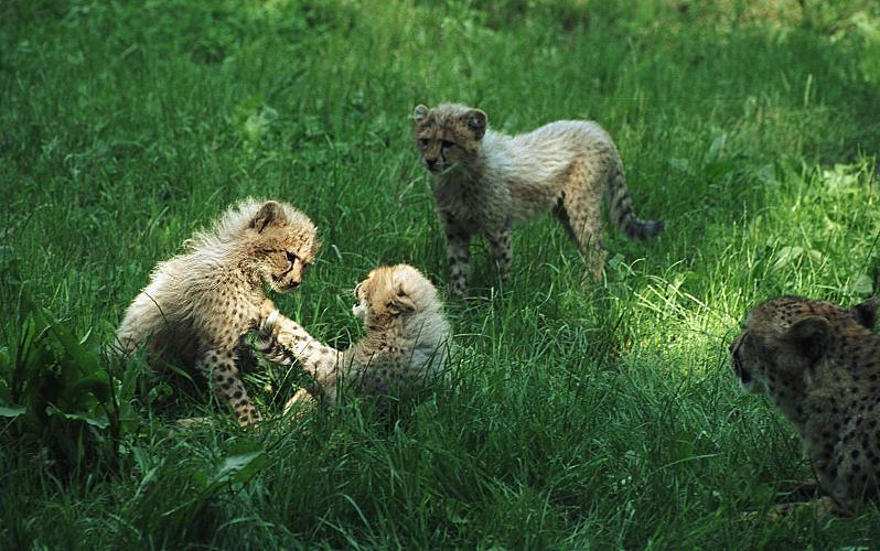 http://www.natureblink.com/animals/gepardi3.jpg
