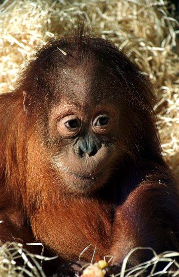 Výsledek obrázku pro orangutan sumaterský