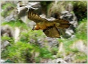 Orlosup bradaty / Bearded Vulture