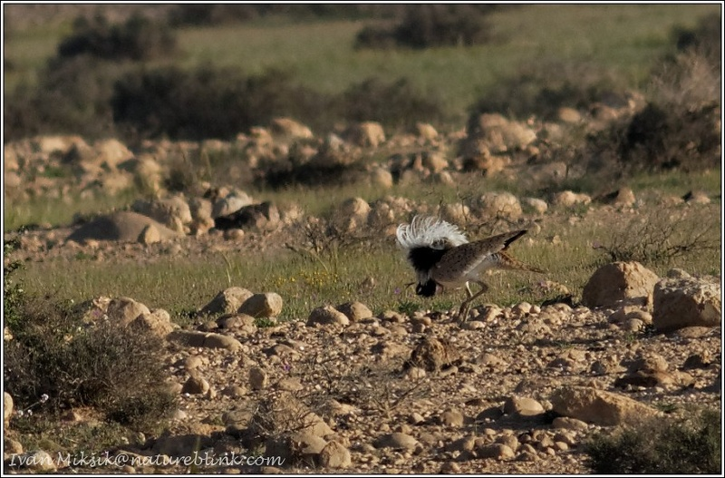 Drop hrivnaty / Asian Houbara (MacQueen's bustard)