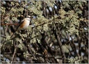 Tuhyk belocely / Masked Shrike
