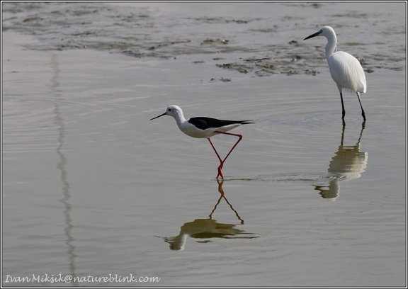 Pisila caponoha / Black-winged Stilt