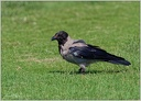 Vrána šedá/Hooded Crow