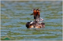Great Grebe / Potapka rohac
