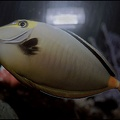 Bodlok bezroh? / Striped-face Unicornfish