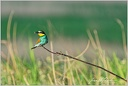Vlha pestrá / European bee-eater