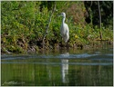 Volavka stribrita / Little Egret