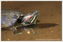?elva n?dhern? / Red-eared Slider