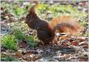 Eurasian red squirrel / Veverka obecna