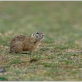 European ground squirrel / Sysel obecny