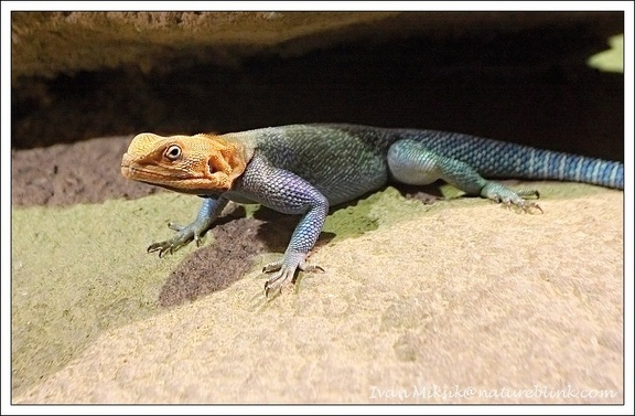 Agama osadn? - Red-headed Rock Agama