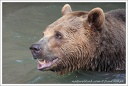 Medvěd hněd? / Brown Bear