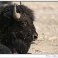 Bizon / American Bison (Buffalo)