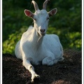 Koza dom?c? / Domestic Goat