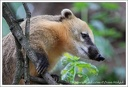 Nosal cerveny / South-American Coati