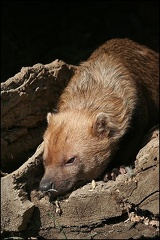 Pes pralesn? / Bush dog