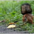 Veverka obecna / Red squirrel