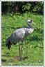 Jeř?b popelav? / Common Crane