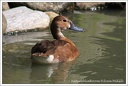 Polak maly / Ferruginous Duck