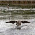 Berneska belolici / Barnacle Goose