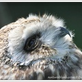 Kalous pustovka / Short-eared Owl