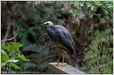 White-faced Heron / Volavka belolici