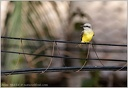 White-thorated Kingbird/Tyran belohrdly