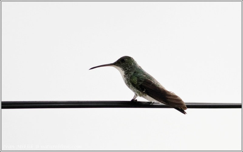 Plain-bellied Emerald / Kolibrik atlantsky