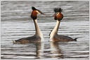 Potapka rohac / Great Crested Grebe