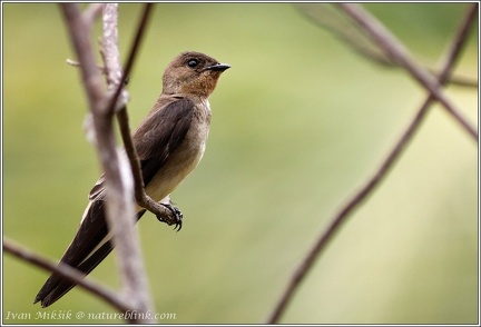 Southern Rough-winged Swallow / Vlastovka neotropicka