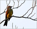 Tropical Kingbird / Tyran tropicky