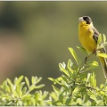 Strnad cernohlavy / Black-Headed Bunting