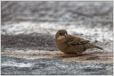 House Sparrow / Vrabec domaci - New Zealand