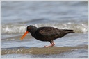 Variable Oystercatcher (Torea)/ Ustricnik promenlivy