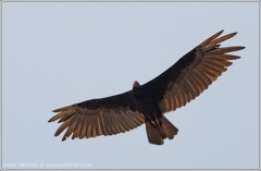Turkey Vulture / Kondor krocanovity