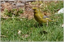 Greenfinch / Zvonek zeleny - New Zealand