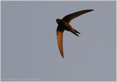 Rorys obecny / Common Swift