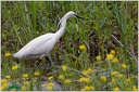 Little Egret / Volavka stribrita