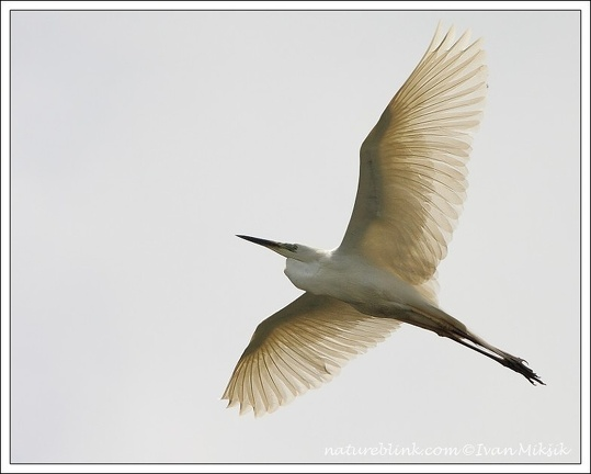 Volavka bila / Great White Egret
