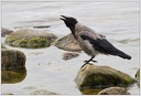 Vrana obecna seda / Hooded Crow