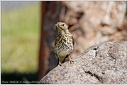 Drozd zpevny / Song Thrush - New Zealand