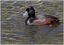 Polak tmavy / New Zealand Scaup