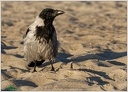 Hooded Crow / Vrana seda
