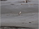 Yellow-eyed penguin/Tucnak zlutooky