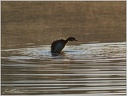 Great Crested Grebe / Potapka rohac
