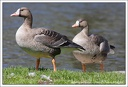 Husa belocela / White-fronted Goose