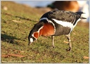 Berneska rudokrka / Red-breasted Goose