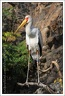 Nesyt africky / Yellow-billed stork
