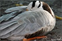 Husa tibetsk? / Bar-headed Goose