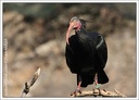 Ibis skalni / Northern Bald Ibis